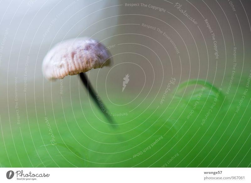 Winzling Natur Herbst Wald Waldboden frisch braun grün weiß Pilz Moos Moosteppich winzig klein Makroaufnahme einzeln Farbfoto Gedeckte Farben Außenaufnahme
