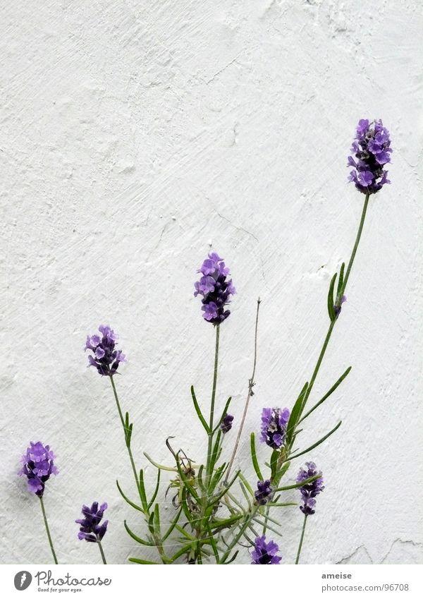Mottengift (2. Teil) Natur schön grün Pflanze Wand Garten Landschaft Wohnung Wissenschaften Duft Balkon Putz Lavendel Heilpflanzen