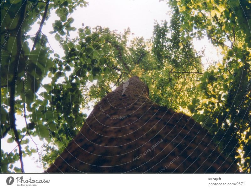 ....baumaufwaerts Pflanze Baum Blatt Wald Frühling Wachstum Ast Baumstamm Zweig Baumkrone Baumrinde Blattknospe Blattadern Trieb Blattgrün verzweigt
