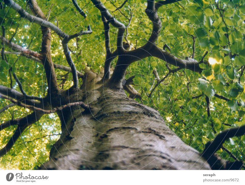 Uralter Buchenbaum Pflanze Baum Blatt Wald Frühling Wachstum Ast Baumstamm Zweig Baumkrone Baumrinde Blattknospe Blattadern Trieb grün Blattgrün