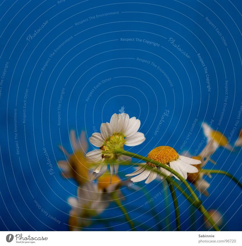 Geburtstagsblümli Blume blau gelb Blüte Stengel Blühend Blumenstrauß verblüht Kamille Heilpflanzen