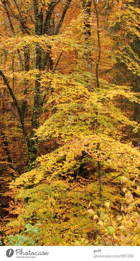 autumn forest Natur Pflanze Herbst Baum Sträucher Blatt Wald Holz gelb grün rot Vergänglichkeit deutschland stiel Zweig stamm Jahreszeiten Botanik Ast innen