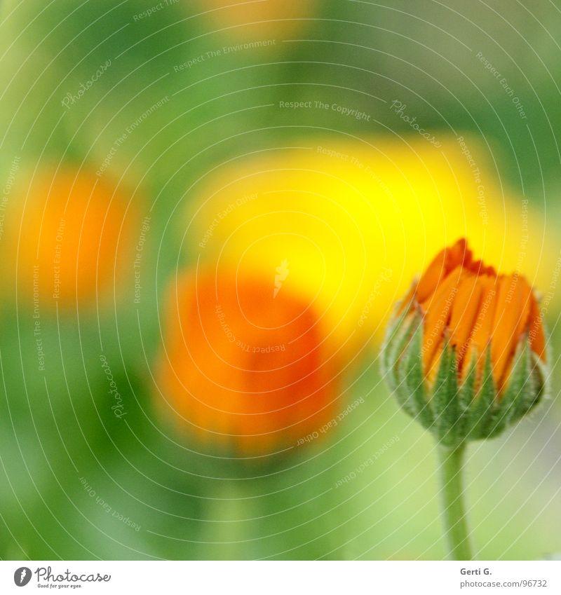 marigold Ringelblume Tagetes Korbblütengewächs Heilpflanzen Kosmetik Schneckenabwehr Blüte Blume Pflanze zart Aquarell grün garten-ringelblume homöopathisch