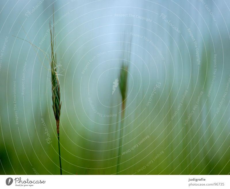 Gras Himmel blau grün schön Pflanze Sommer Farbe Wiese Wärme Gras glänzend weich Physik zart Weide Stengel