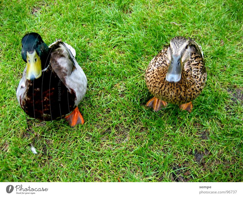 Bitte lächeln Natur Tier Vogel lustig süß Ente