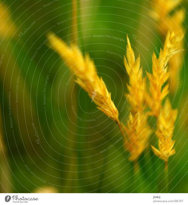 Gelbgold Gras grün Stengel Ähren gelb Wachstum Pflanze Frühling flattern schimmern Wiese Feld Pollen Rispen Lampe Natur Blühend Duft wedeln Wind Weide
