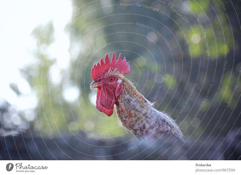 cocoricooo Baum Bauernhof Tier Haustier Nutztier Vogel Tiergesicht Hahn Haushuhn Feder Kamm Schnabel picken 1 braun grün rosa rot Krähe Farbfoto mehrfarbig