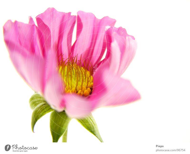 Kleine Schönheit erwacht (2) Farbfoto Innenaufnahme Makroaufnahme Hintergrund neutral Sommer Natur Pflanze Blume Blüte Blühend Wachstum rosa Schmuckkörbchen