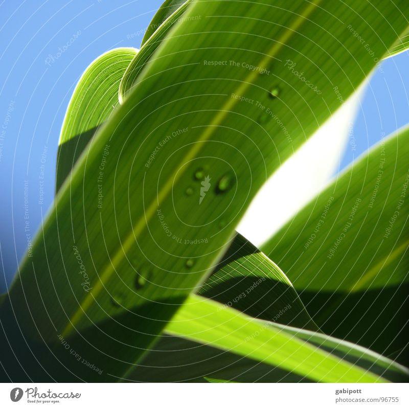 Sasa palmata f. nebulosa Natur Himmel grün blau Pflanze Freude Ferien & Urlaub & Reisen ruhig Erholung Bewegung Garten Glück Regen Gesundheit Wassertropfen