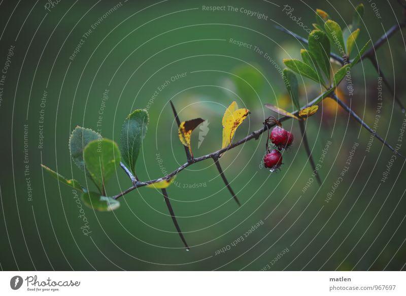 nasse Dornen Pflanze Wasser Wassertropfen Herbst Wetter schlechtes Wetter Regen Sträucher gelb grün rot Dornenbusch Beeren Berberitze Farbfoto Außenaufnahme