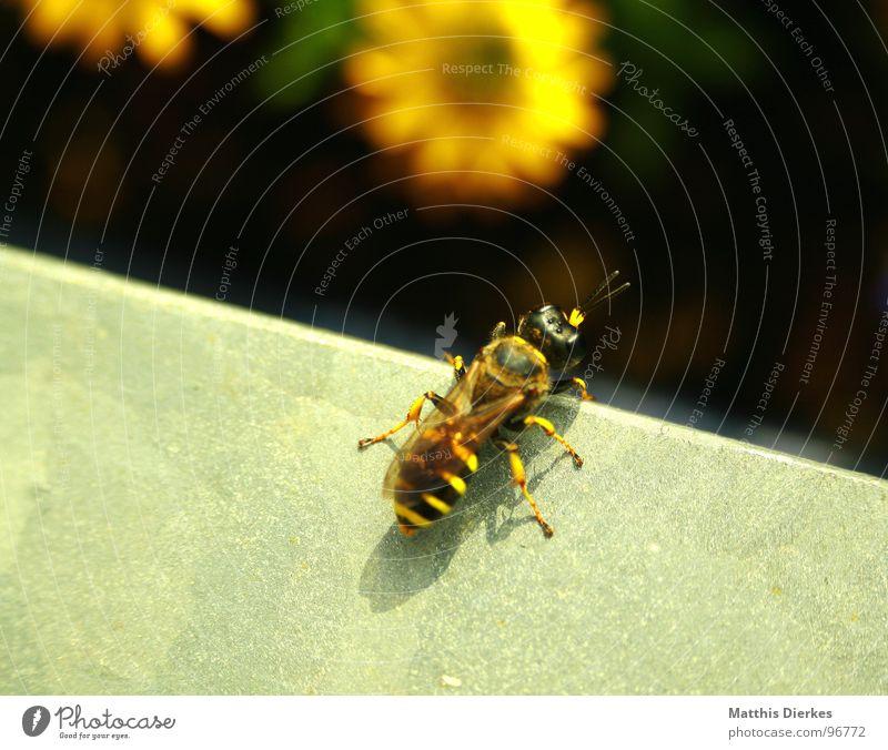 START Biene Blüte Insekt stechen Wespen Hornissen bestäuben Fortpflanzung Balkon Pflanze Sommer nah schimmern Unschärfe Beginn fliegen Gift Makroaufnahme