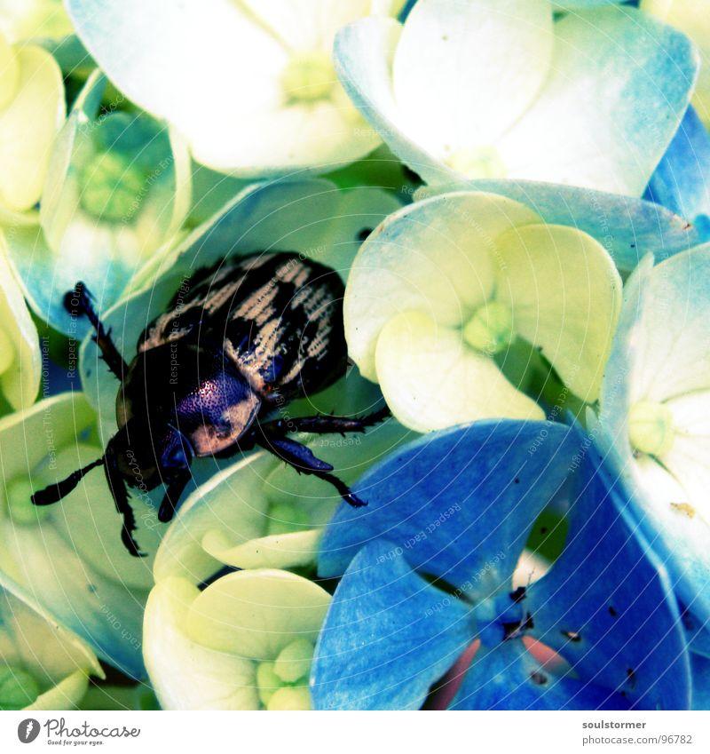 chillout Blume Insekt Blüte weiß braun Erholung ruhen krabbeln Fühler Quadrat Japan Frühling Sommer Physik ruhig Langeweile Käfer Beine Farbe blau Sonne