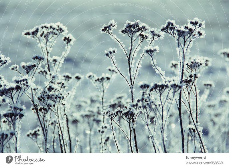 Winterknöspchen III Umwelt Natur Eis Frost Schnee Pflanze Sträucher Beginn bizarr elegant kalt Eisblumen Schneekristall Eiskristall Raureif Gedeckte Farben