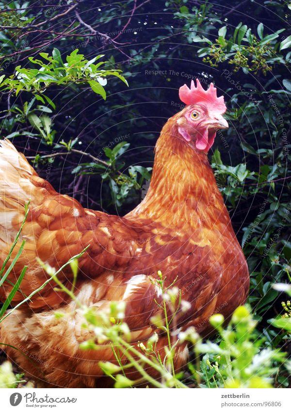 Huhn Vogel frei Ei Bioprodukte Biologische Landwirtschaft Haushuhn passend Mysterium Tier freilaufend artgerecht Landei Legehenne Eierverkäufer