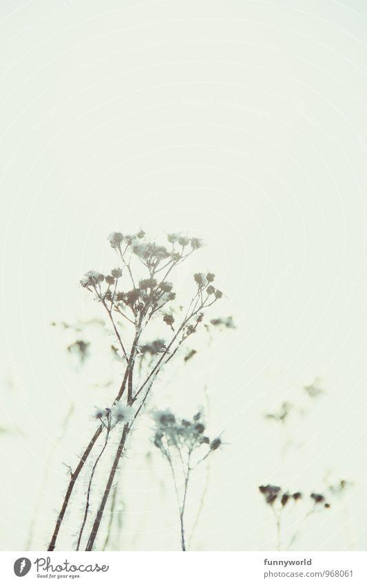Winterknöspchen I Himmel Natur Pflanze Winter kalt glänzend träumen Schneefall Eis Sträucher ästhetisch Fröhlichkeit Blühend Wolkenloser Himmel Blütenknospen Eiskristall