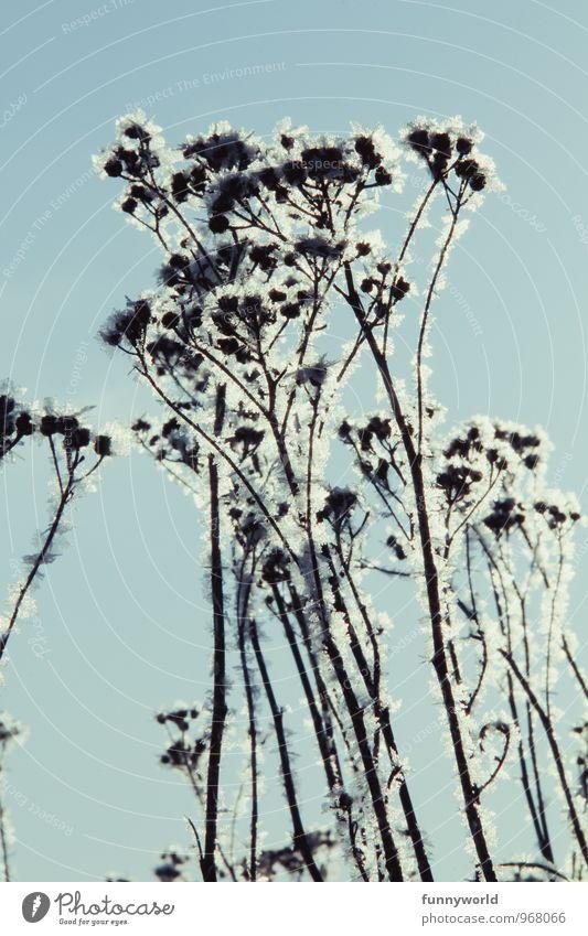 Winterknöspchen II Himmel Natur Pflanze blau schön Umwelt Blüte Schnee Eis Wachstum elegant Sträucher Klima Vergänglichkeit Schönes Wetter