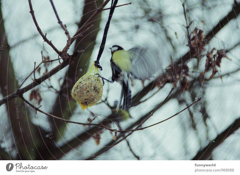 *flatter* kalt Vogel Hilfsbereitschaft Appetit & Hunger Fürsorge anstrengen füttern Tierliebe Meisen Kohlmeise
