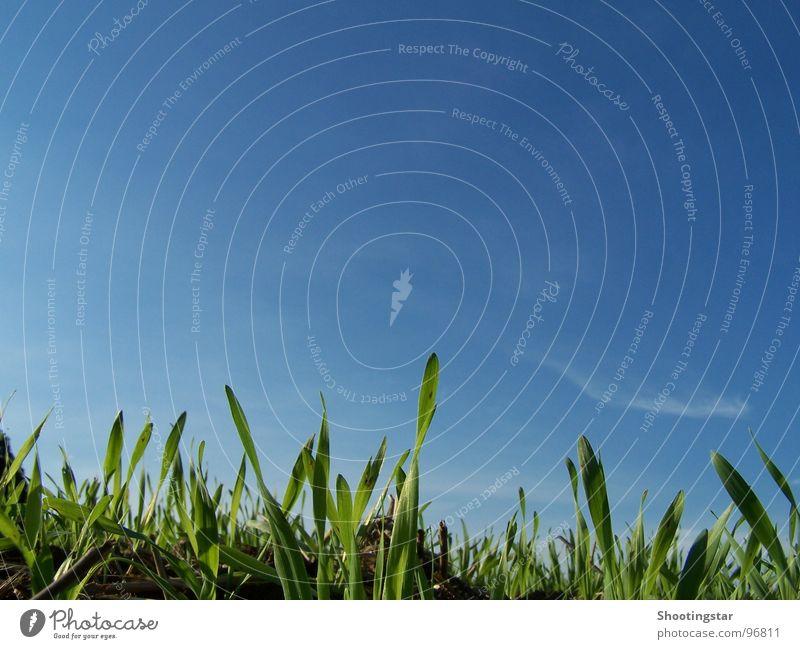 Neues wächst auf grün blau Gras Frühling Feld warten Erde neu Wachstum Ernte Blauer Himmel Aussaat Jungpflanze aufgehen Reifezeit