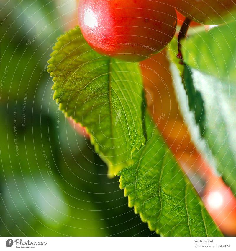 Cherry, cherry Lebensmittel Frucht Ernährung Sommer Natur Baum Blatt Nutzpflanze süß Kirsche reif Ernte Farbfoto Außenaufnahme Textfreiraum links