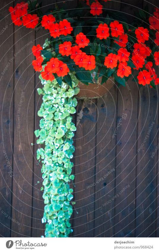 Rot und Grün, Rote und Grüne Blumen an einer Tür. Deko im Fränkischen Land. Freude Wohlgefühl Ausflug wandern Pflanze Sommer Blüte Grünpflanze Topfpflanze