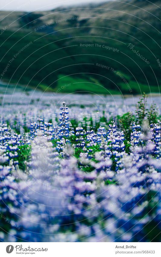 Lupinen Overdose II (Island) Ferien & Urlaub & Reisen Tourismus Ausflug Abenteuer Ferne Sommerurlaub Umwelt Natur Landschaft Pflanze Urelemente Erde Blume