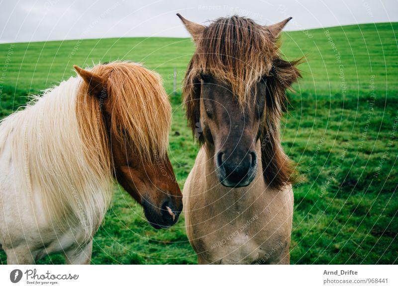 Die Zwei Ferien & Urlaub & Reisen Tourismus Ausflug Ferne Freiheit Reiten Natur Landschaft Pflanze Tier Erde Himmel Wiese Pferd Island Ponys 2 Tierpaar Blick