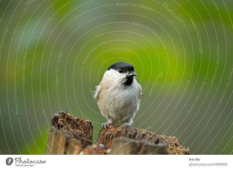 Weidenmeise Umwelt Natur Tier Wildtier Vogel Tiergesicht Flügel 1 entdecken hocken Blick frei Freundlichkeit Neugier niedlich braun grün Vertrauen Tierliebe