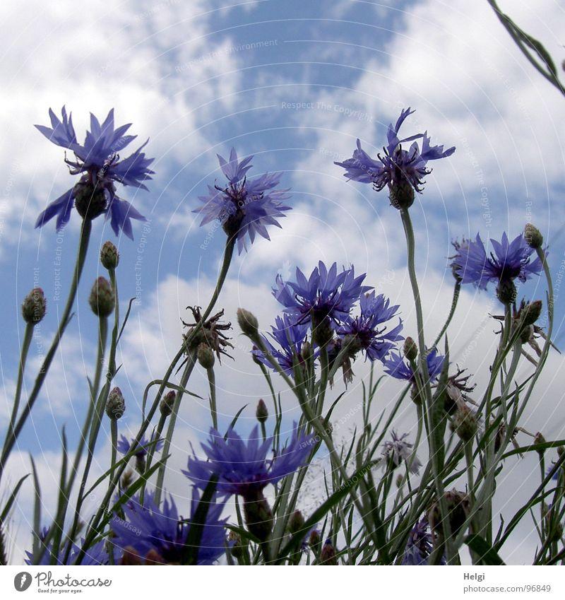 Blüten und Knospen von Kornblumen vor blauem Himmel mit Wolken Blume Blühend Stengel grün Blütenblatt Straßenrand Feld weiß Sommer Juli emporragend lang dünn