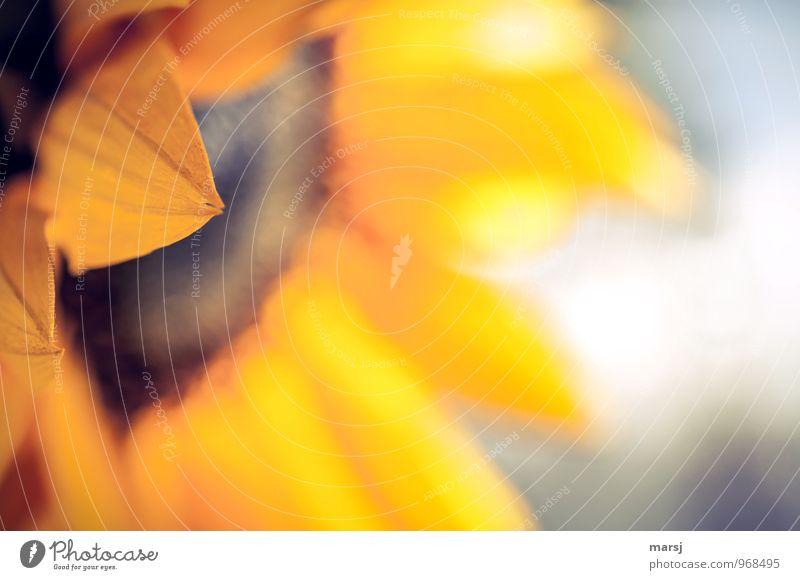 Gespaltene Spitze Natur Pflanze Sommer gelb Traurigkeit Herbst Blüte Stimmung glänzend träumen leuchten gold Fröhlichkeit Spitze Blühend einfach
