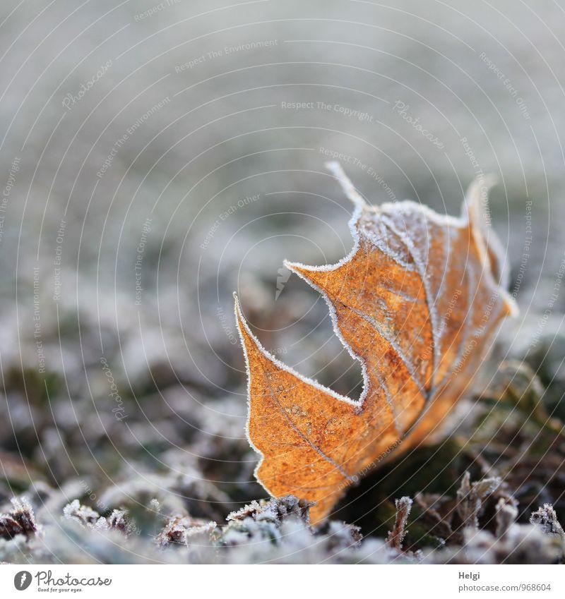 kalt | mit Zuckerrand... Umwelt Natur Pflanze Winter Eis Frost Blatt Ahornblatt Blattadern Park liegen dehydrieren ästhetisch außergewöhnlich schön einzigartig