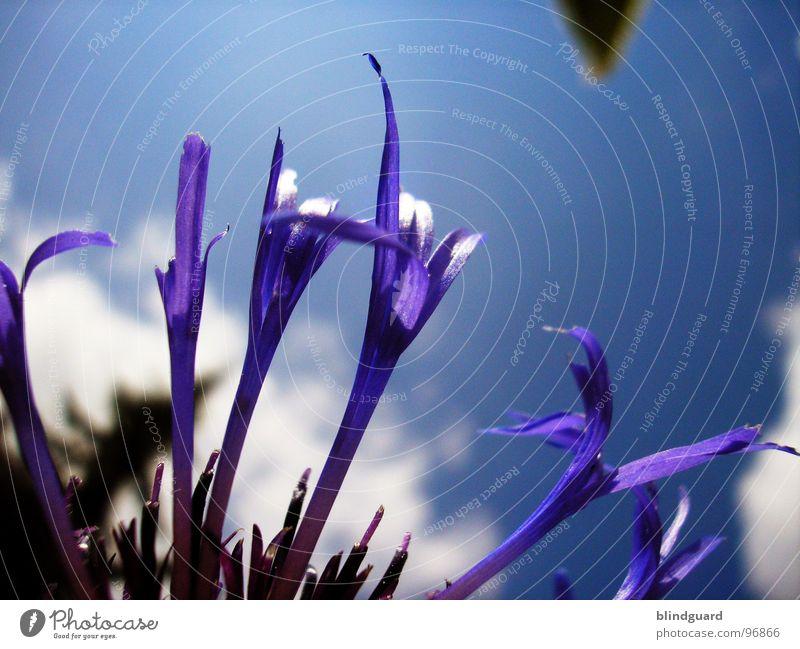 Violet Leafs schön Himmel Pflanze Sommer Wolken Blüte Frühling ästhetisch violett Anmut Wiesenblume Korbblütengewächs Zierpflanze Wiesenflockenblume