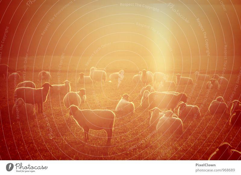 Schafe Ferien & Urlaub & Reisen Tourismus Landwirtschaft Forstwirtschaft Natur Landschaft Wiese Feld Tier Nutztier Tiergruppe Herde beobachten Fressen orange