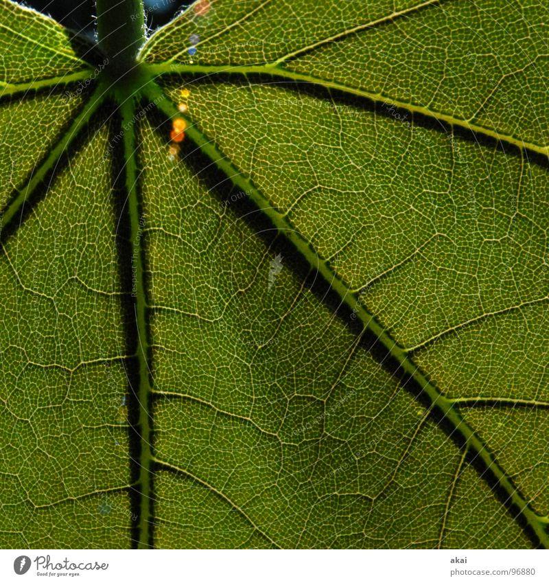 Das Blatt 14 Natur grün Pflanze Umwelt Sträucher Urwald Botanik Südamerika Wildnis pflanzlich Wildpflanze Pflanzenteile Araliengwächs