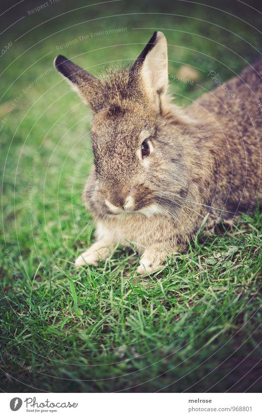 SIESTA Natur Herbst Gras Wiese Tier Haustier Tiergesicht Fell Pfote Hasen Löwenkopf Zwergkaninchen Hase & Kaninchen Nagetiere Säugetier 1 Hasenohren Löffel