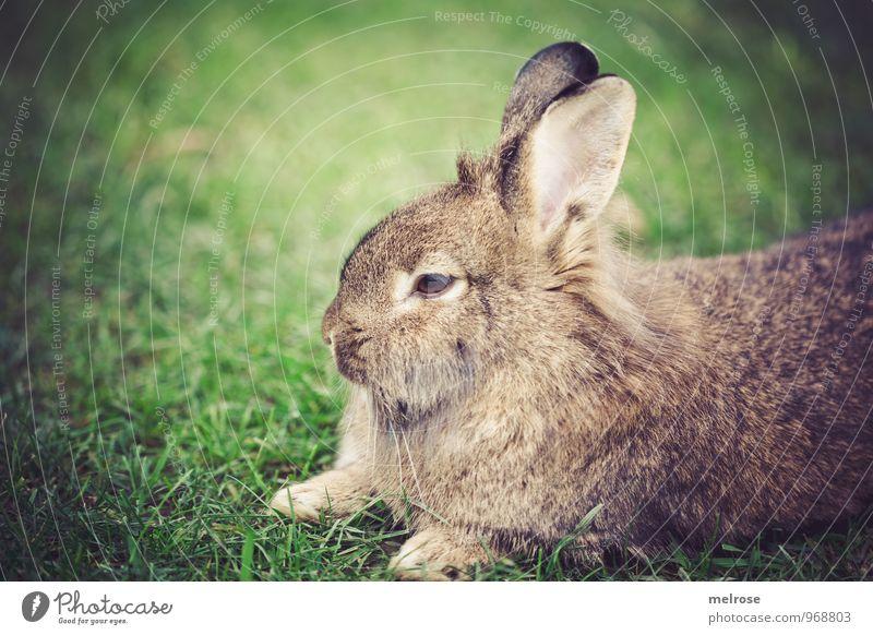 """""""gmüatlich"""" Natur Herbst Gras Wiese Tier Haustier Fell Pfote Hase & Kaninchen Zwergkaninchen Löwenkopf Nagetiere Säugetier Tiergesicht 1 Hasenohren Löffel"""