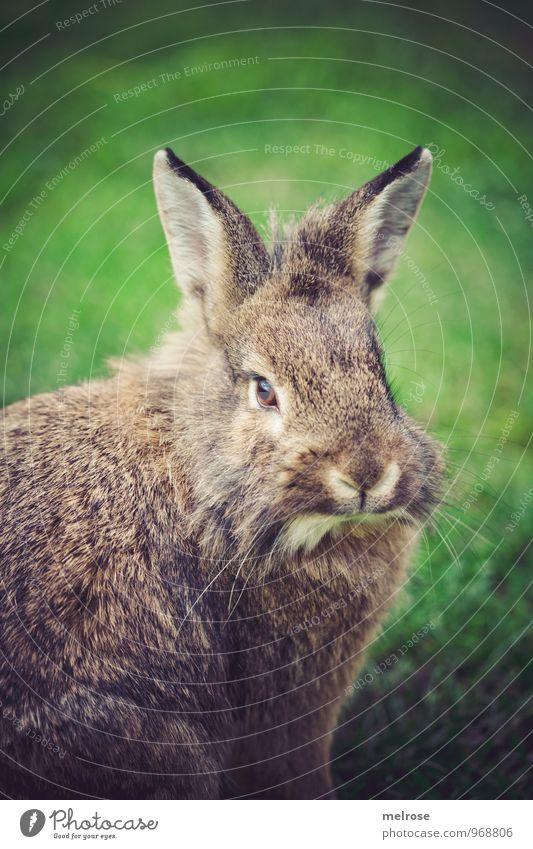 Schnuffi grün Erholung Tier braun Zufriedenheit genießen beobachten weich Freundlichkeit Gelassenheit Fell Tiergesicht Haustier Hase & Kaninchen Geborgenheit Pfote