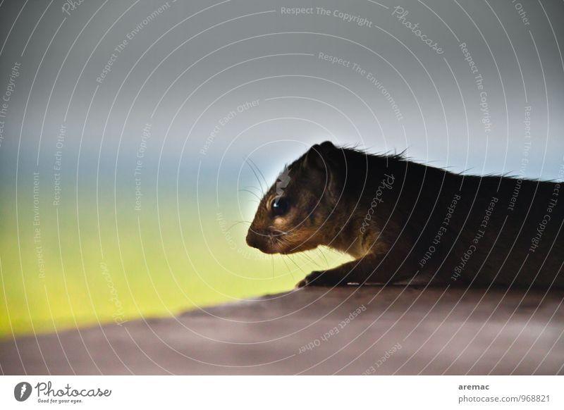 Tristesse Tier Wildtier Tiergesicht Fell Eichhörnchen 1 beobachten Blick trist Gefühle Traurigkeit ruhig Schwarzweißfoto Gedeckte Farben Außenaufnahme