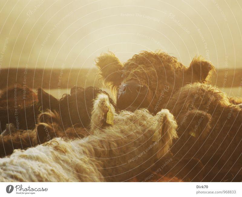Dicke Wolle gegen Winterkälte Bioprodukte Landwirtschaft Forstwirtschaft Landschaft Sonnenlicht Herbst Schönes Wetter Nebel Feld Weide Futterplatz Tier Nutztier