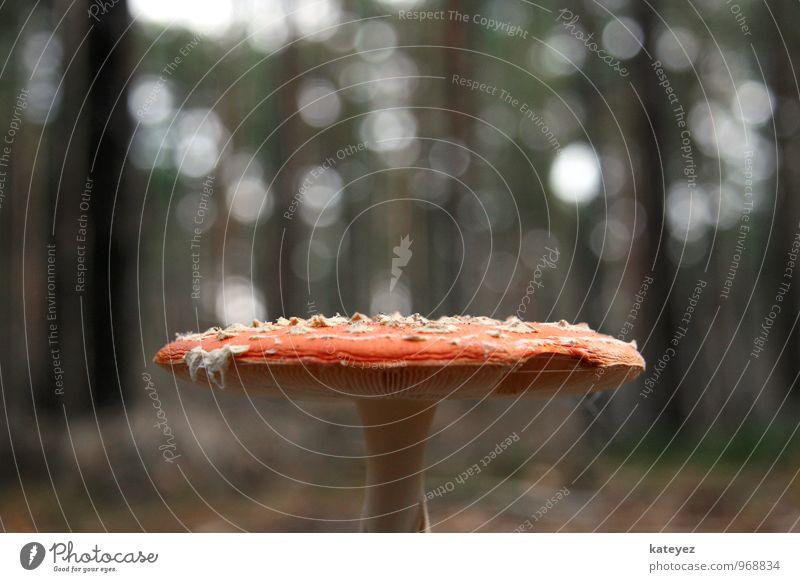 Alice im Wunderland Umwelt Natur Landschaft Sonnenlicht Wildpflanze Wald stehen bedrohlich rot Freude Drogensucht Abenteuer Einsamkeit Lamelle Pilz Pilzhut
