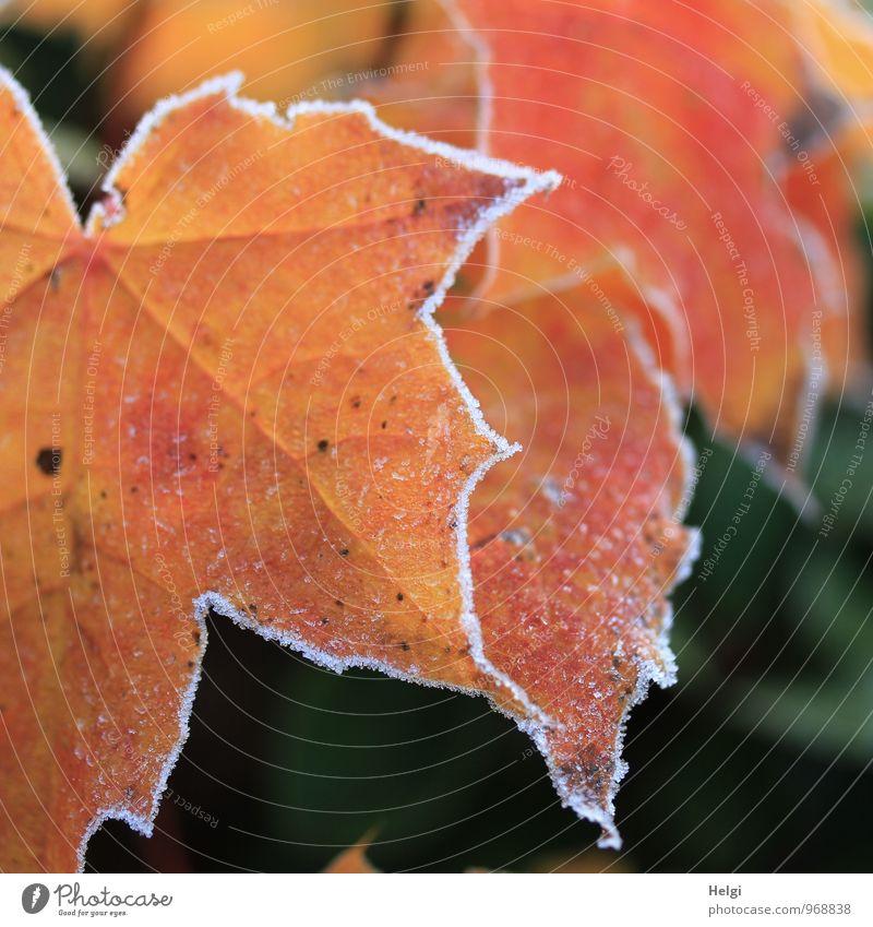 winterlich veredelt... Natur alt Pflanze grün weiß Baum Blatt Winter kalt Umwelt natürlich außergewöhnlich Stimmung Park Eis orange