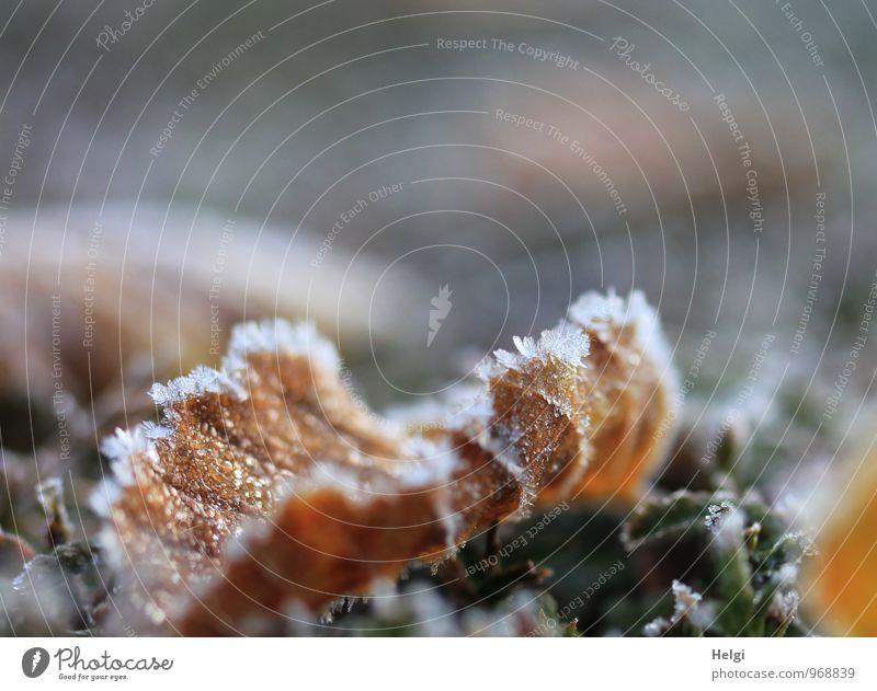 gefroren... Umwelt Natur Pflanze Winter Eis Frost Blatt Park alt frieren liegen dehydrieren authentisch außergewöhnlich einzigartig kalt natürlich braun grau