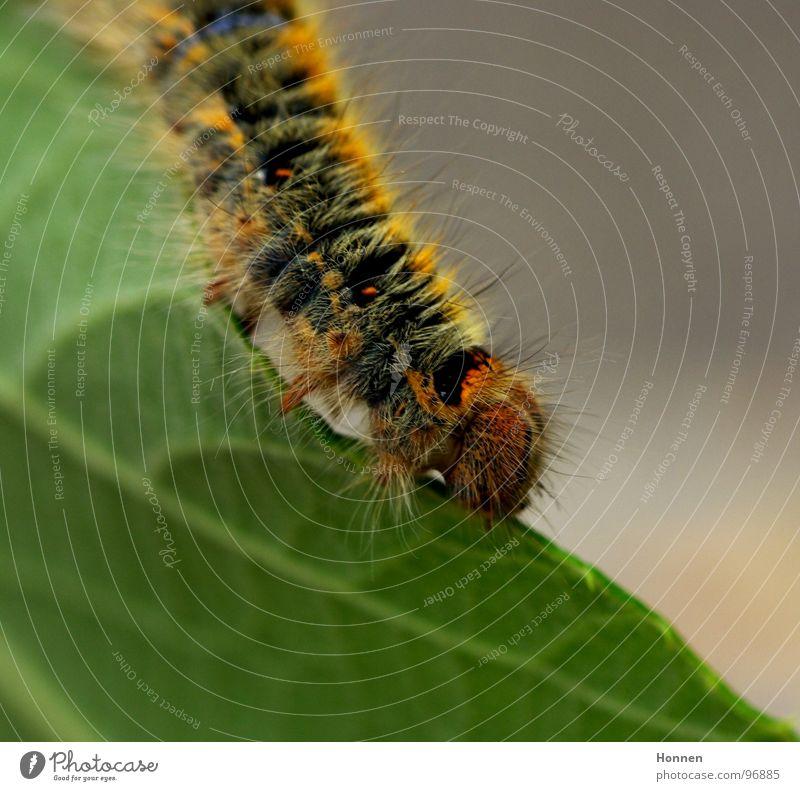 Was für ein Spinner! Kleespinner Schmetterling Tier Pflanze gelb schwarz Gemälde Blatt Insekt Entwicklung krabbeln Raupe Brennhaare rostbraun blau