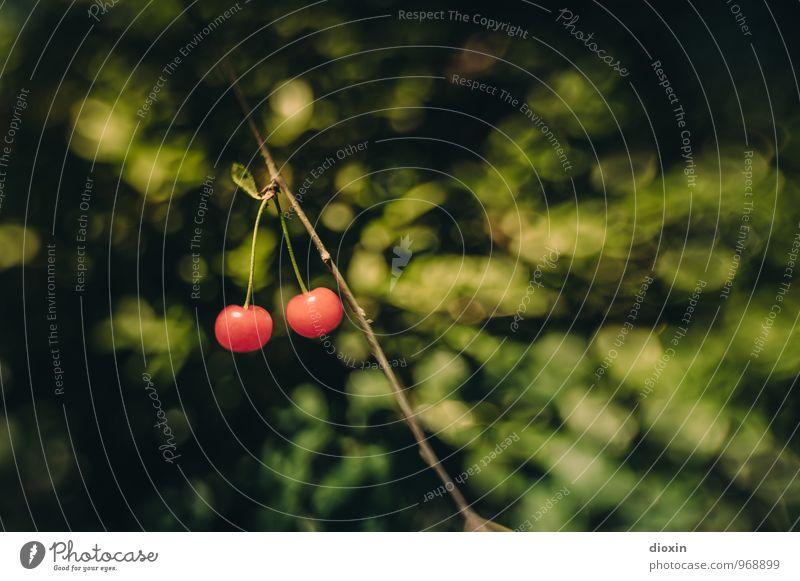 Nachbars Garten Lebensmittel Frucht Kirsche Ernährung Bioprodukte Vegetarische Ernährung Umwelt Natur Pflanze Sommer Nutzpflanze hängen lecker süß rot Farbfoto