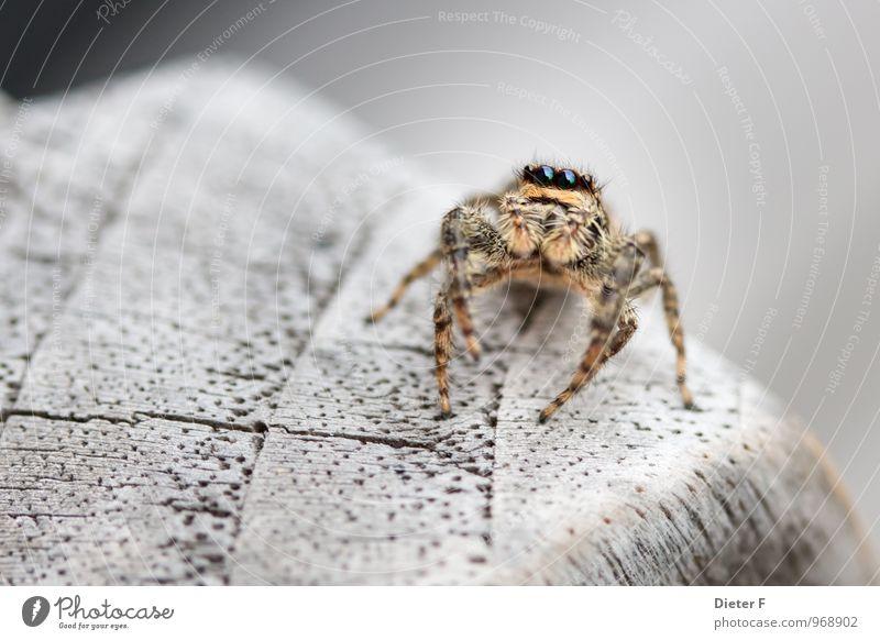 Springspinne (marpissa muskosa) Tier Sommer Spinne Tiergesicht 1 Bewegung Fressen Jagd krabbeln rennen springen bedrohlich stachelig wild braun Leben Neugier