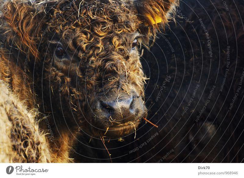 Lockenköpfchen Tier schwarz Tierjunges Wärme Herbst braun glänzend gold niedlich weich Schönes Wetter Warmherzigkeit Freundlichkeit Landwirtschaft Gelassenheit