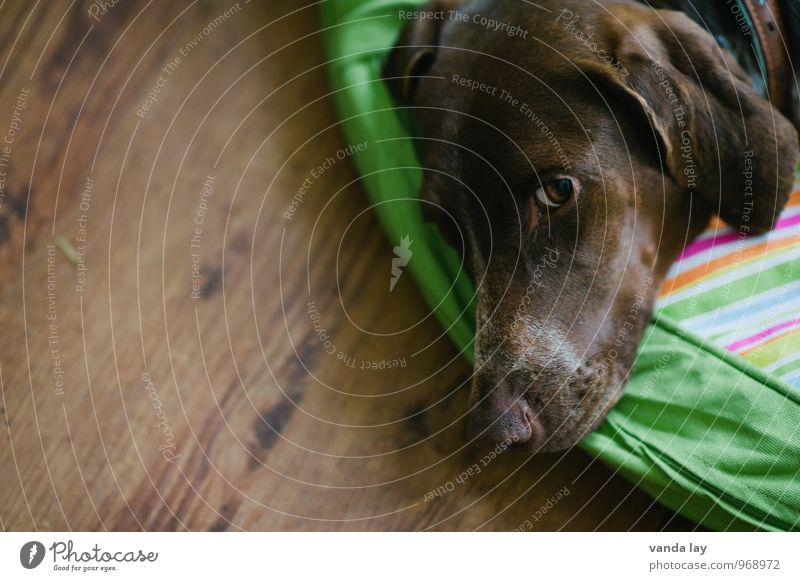 Wachsam Tier Haustier Hund Tiergesicht Deutsch kurzhaar Jagdhund Jäger 1 Geborgenheit loyal Tierliebe Wachsamkeit Farbfoto Innenaufnahme Textfreiraum links