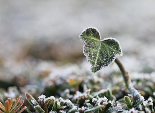 frostig | kalt Natur Pflanze grün weiß Blatt Winter Umwelt Leben natürlich klein grau braun Park Eis Wachstum