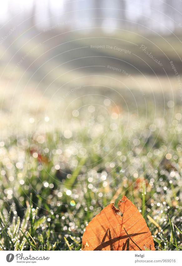 Leuchtblatt.... Umwelt Natur Landschaft Pflanze Herbst Schönes Wetter Eis Frost Baum Gras Blatt Wiese frieren glänzend leuchten dehydrieren Wachstum ästhetisch