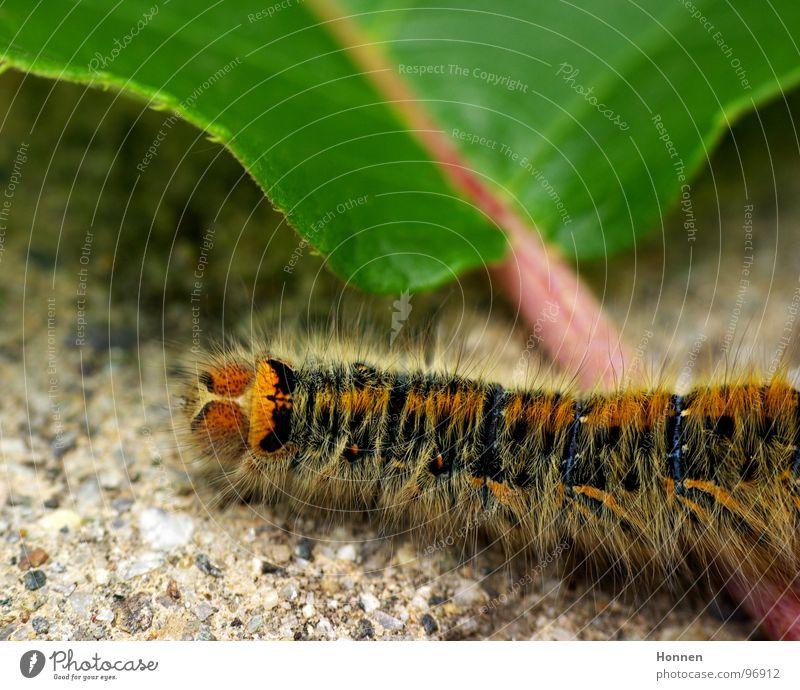 Was für ein Spinner! -- 2 Kleespinner Schmetterling Tier Pflanze gelb schwarz Gemälde Insekt Entwicklung krabbeln Raupe Brennhaare rostbraun blau Diskoidalfleck