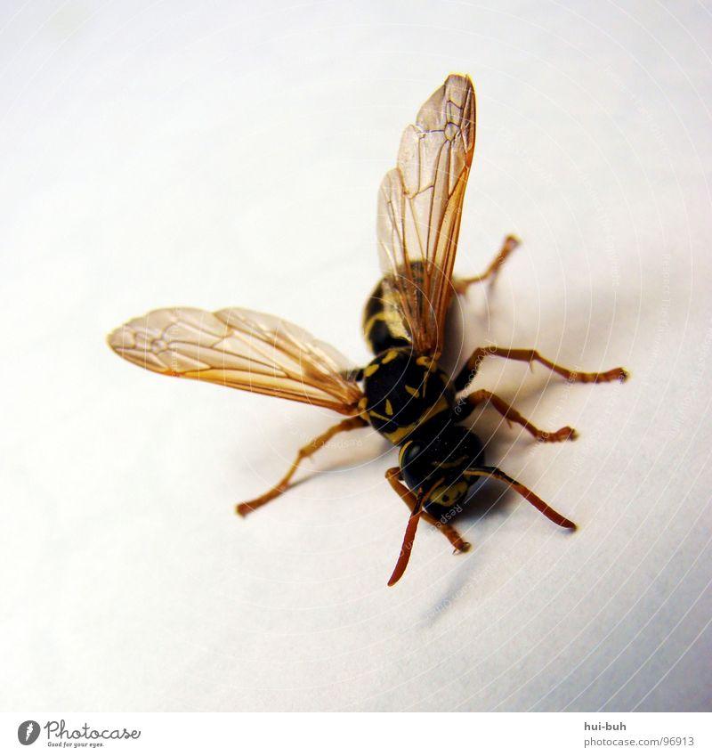 mucha Biene Wespen Tier bestäuben Leben krabbeln gestreift Streifen Zebrastreifen Insekt Fliege animal fliegtier fliegen Flügel Tod halb tot halb lebendig Fuß